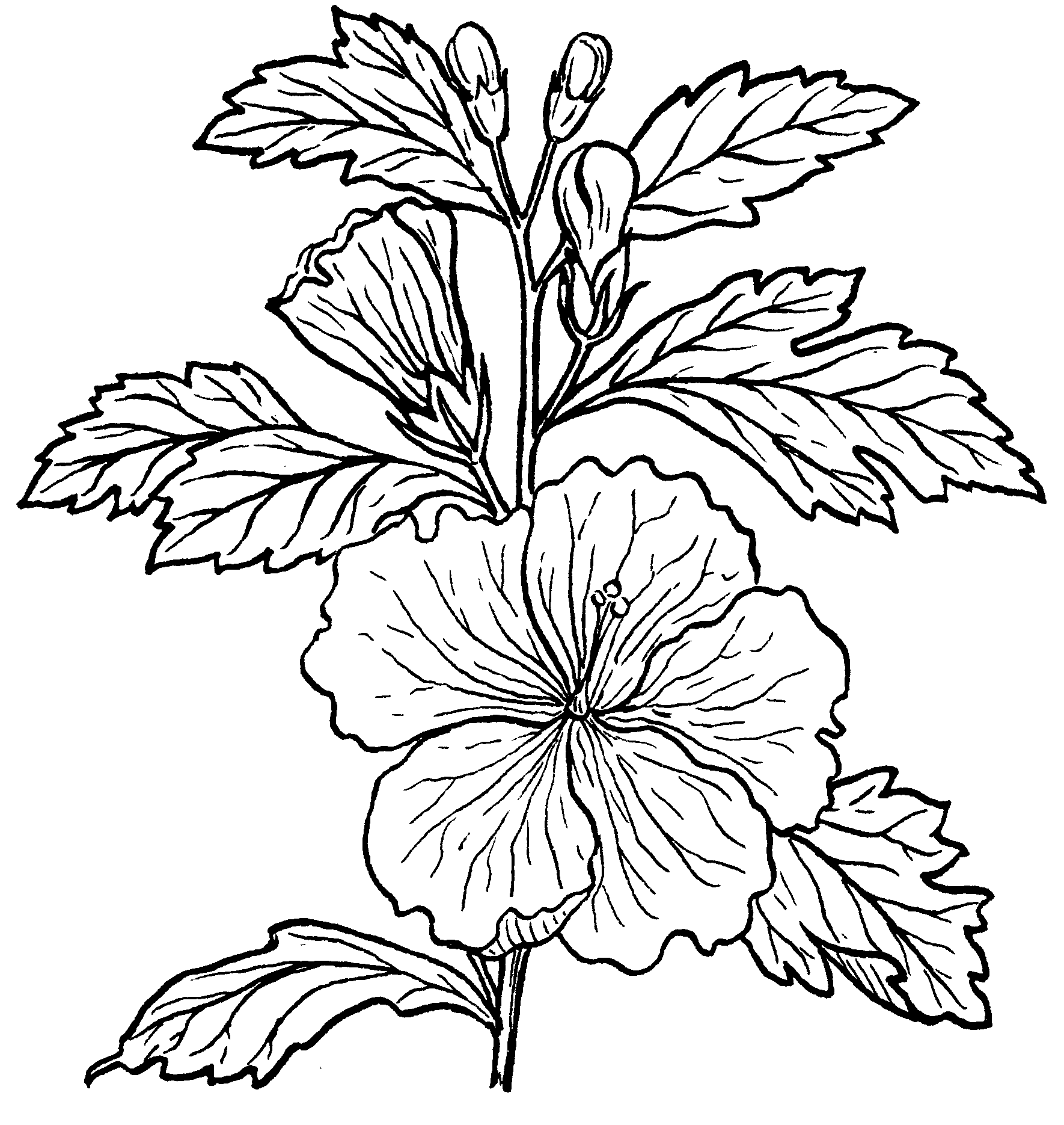 Hibiscus Hibiscus Flower Drawing Plant Drawing Hibiscus Plant