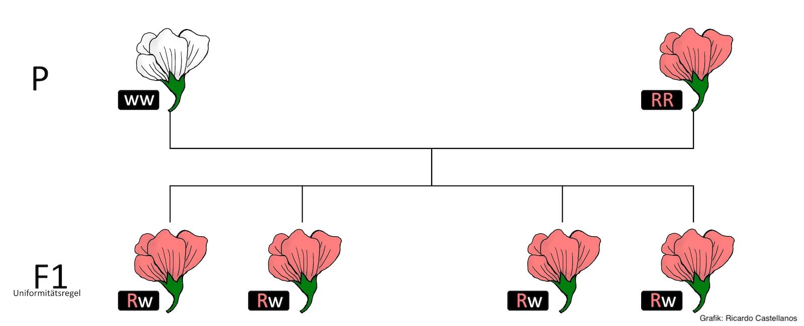 Mendelsche Regeln Wiki