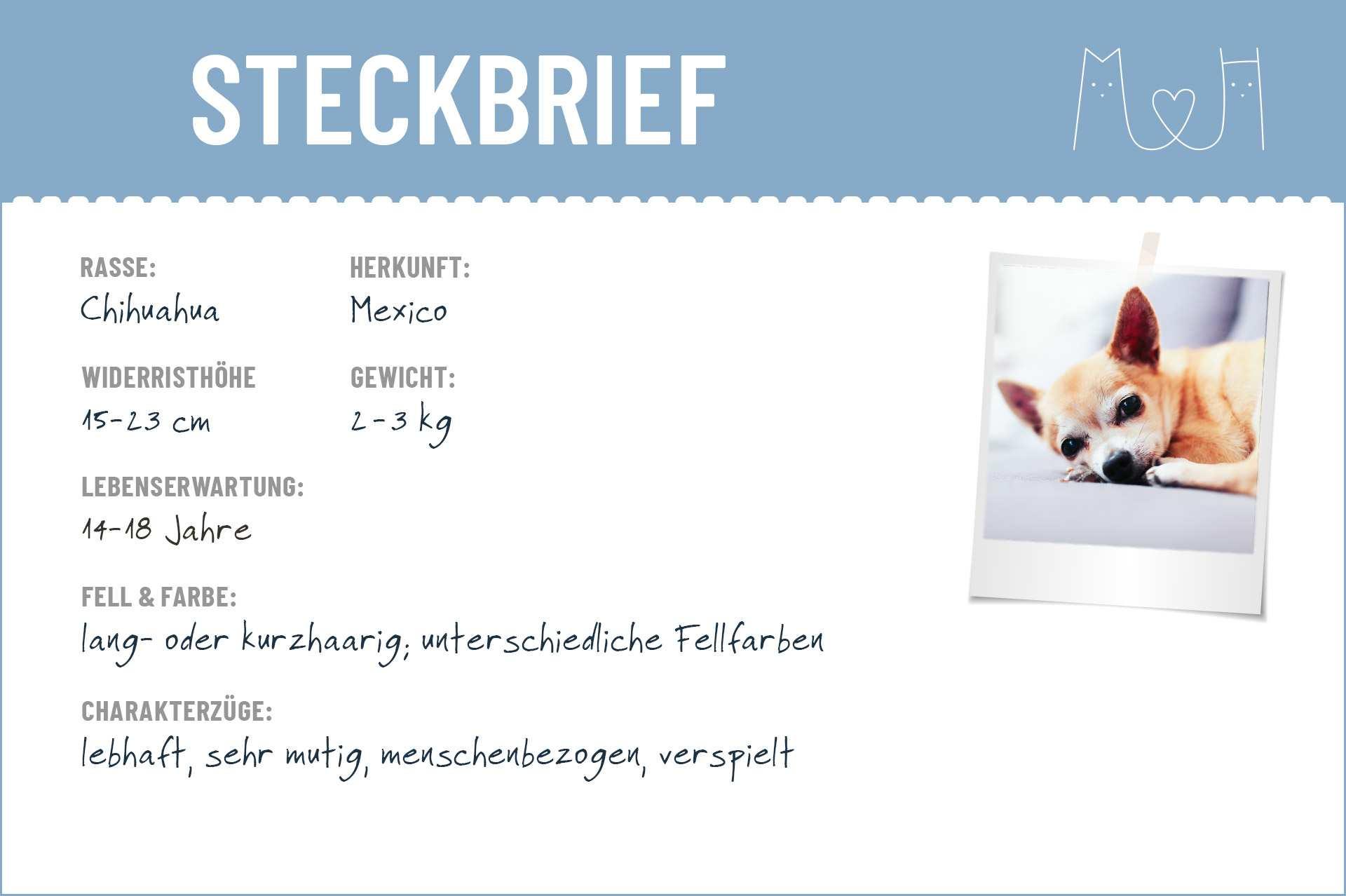Chihuahua Steckbrief Charakter Wesen Haltung