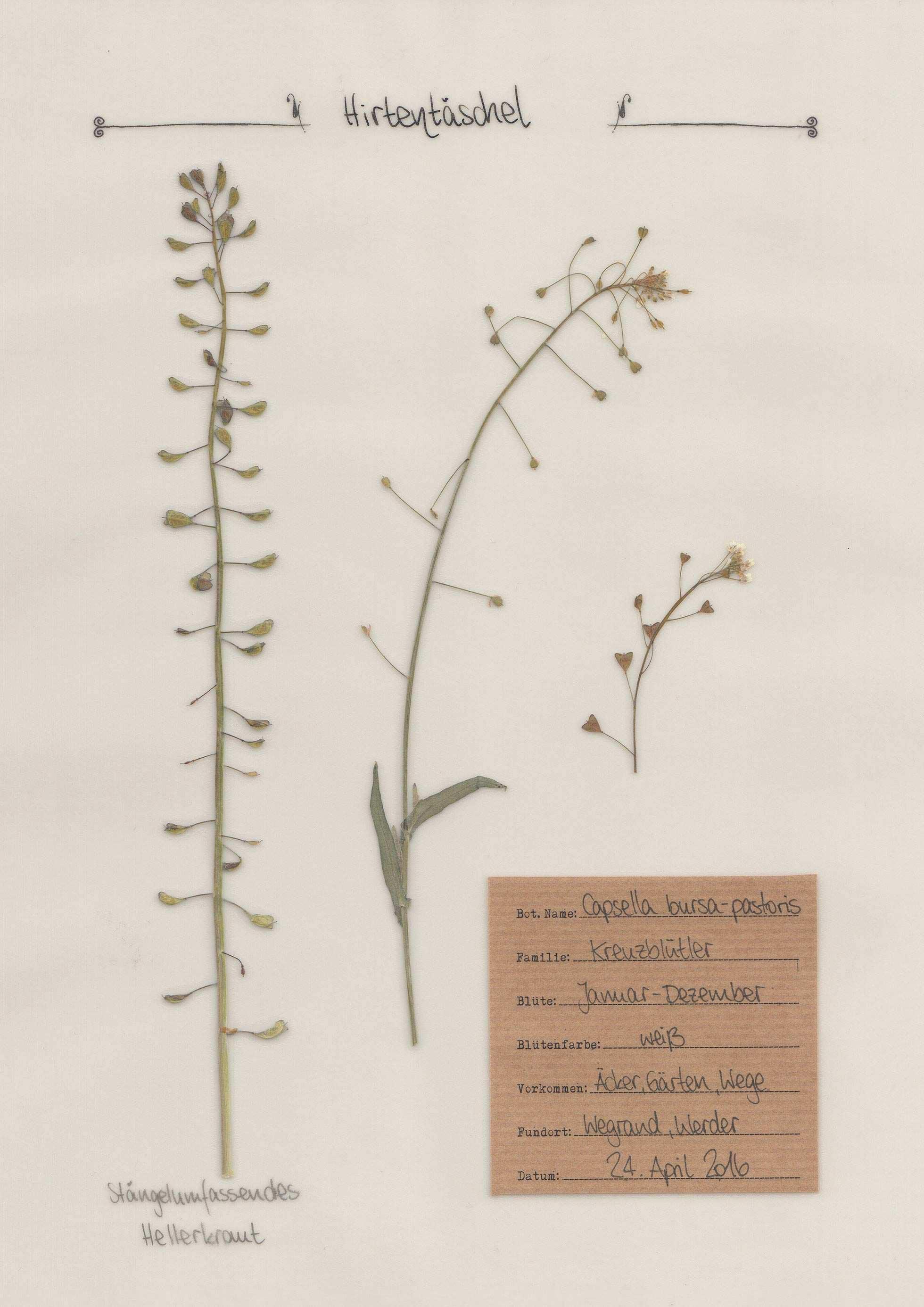 Das Hirtentaschel Im Pflanzenportrait Auf Www Herbal Hunter De Pflanzen Hirtentaschel Herbarium Vorlage
