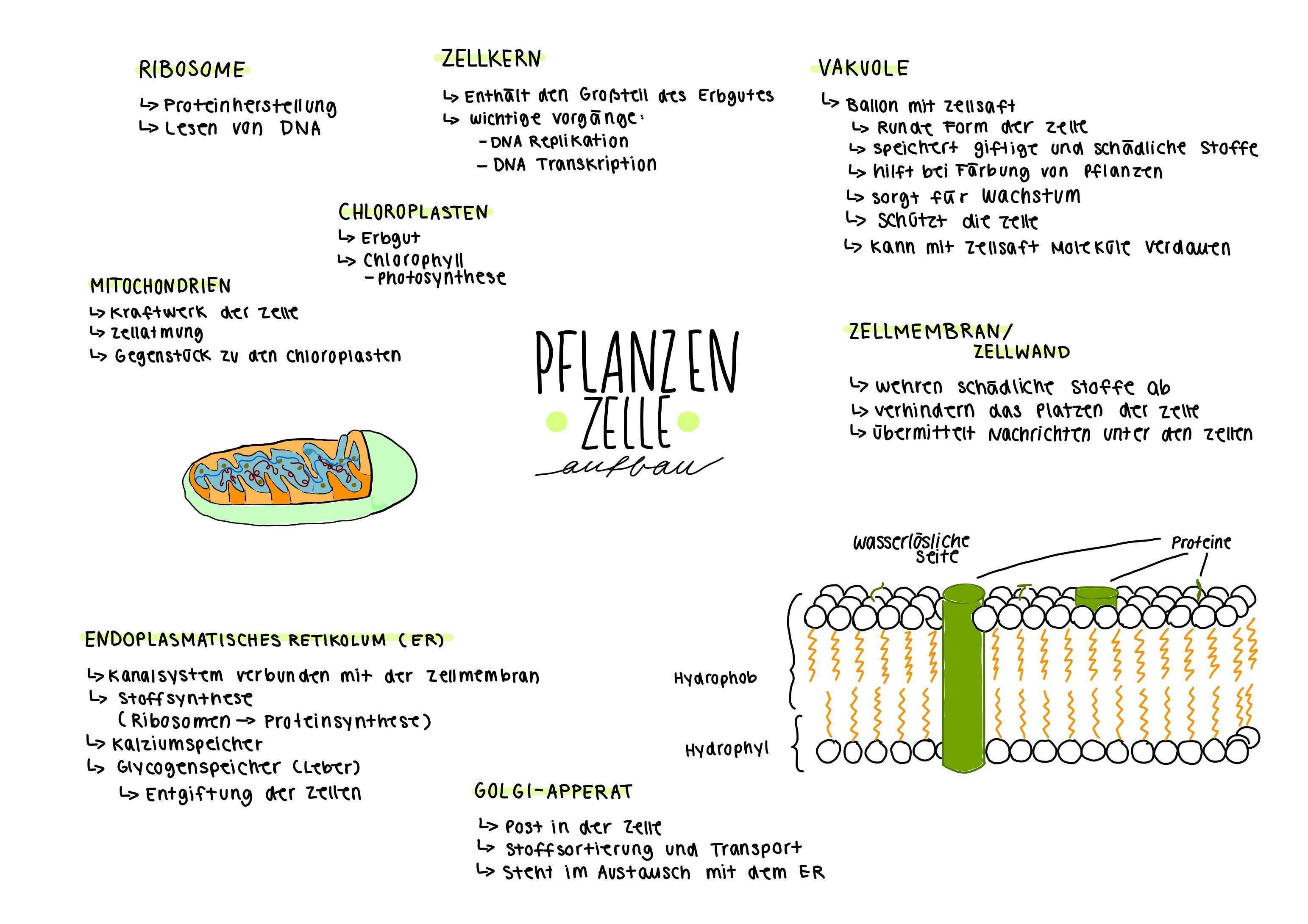 Biologie Ipad Notizen Pflanzenzelle Lernen Tipps Schule Biologie Unterrichten Biologie
