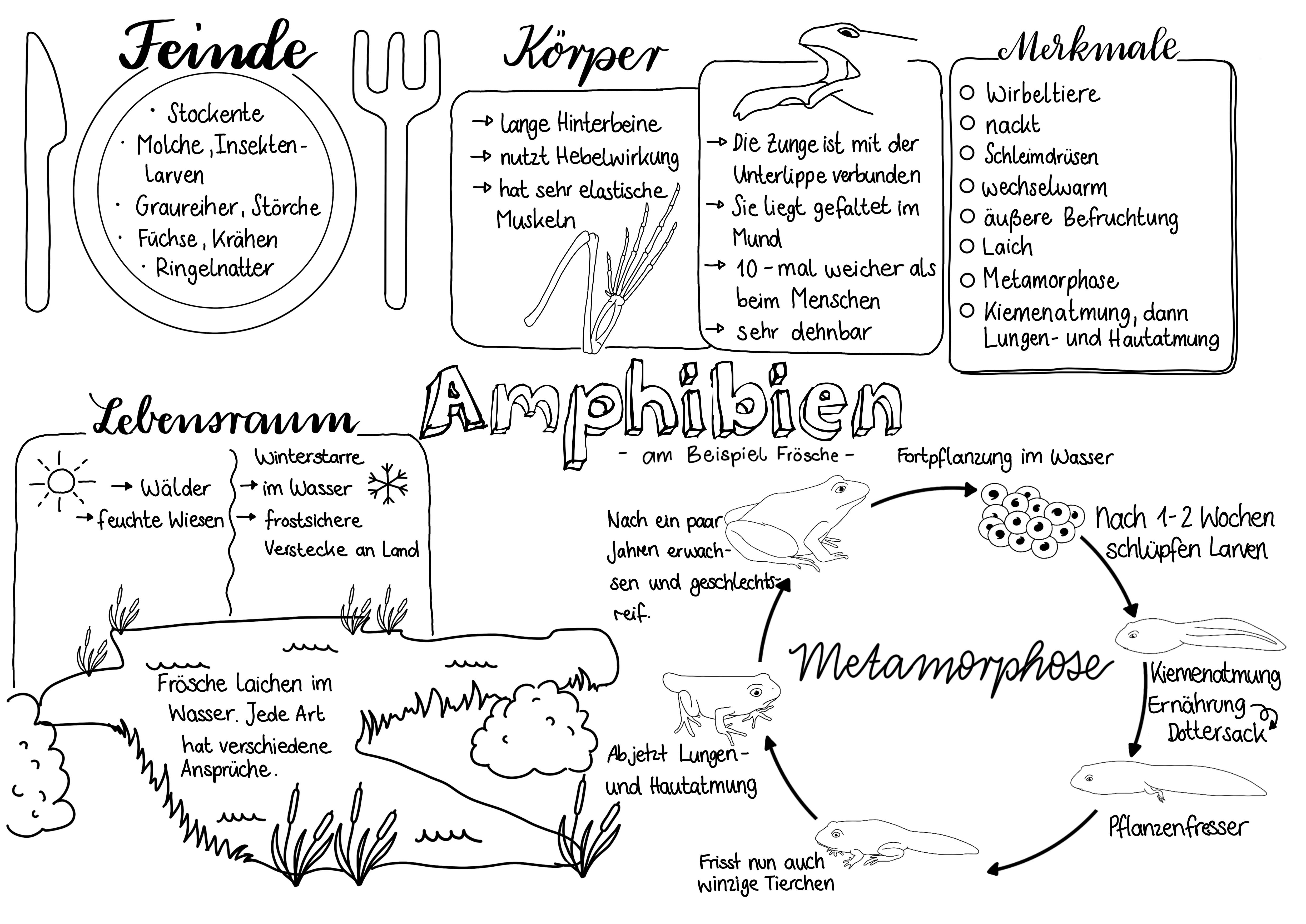 Amphibien Sketchnote Unterrichtsmaterial In Den Fachern Biologie Sachunterricht Biologie Unterrichten Sketch Note Anatomie Lernen