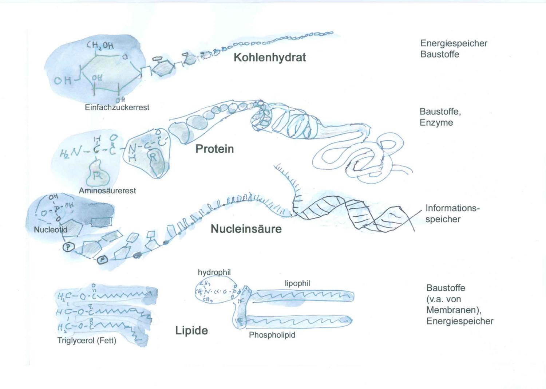 Grafik Zu Biomolekulen Unterrichtsmaterial Lehrmaterial Chemie