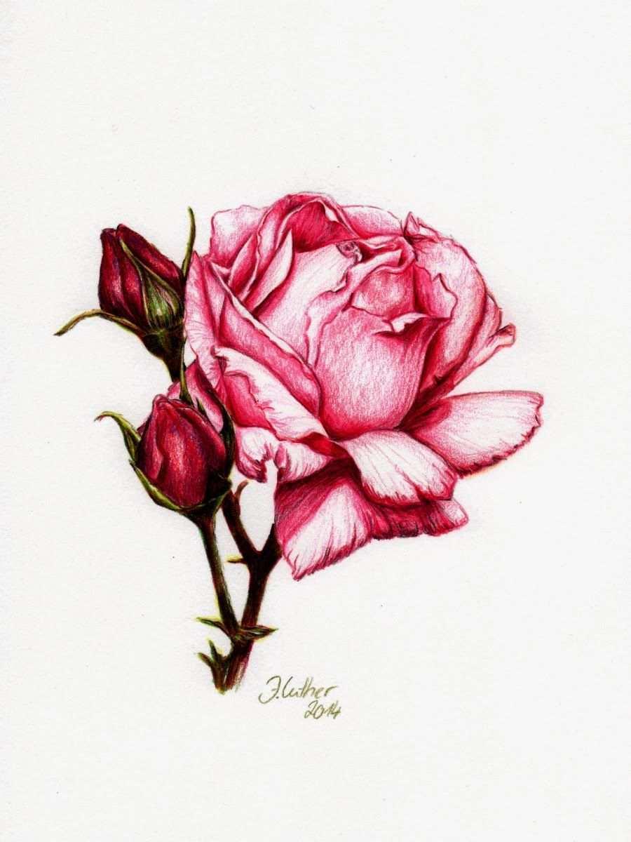 Artwork Rose Fuchsie Rosen Zeichnen Rosenzeichnungen Buntstifte