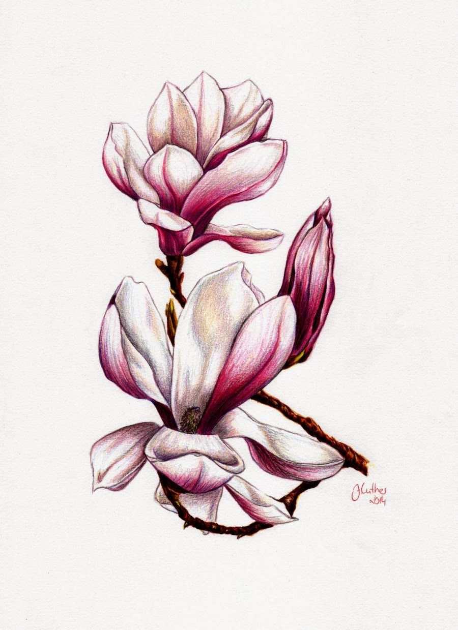 Artwork Magnolie Magnolien Blumenzeichnungen Buntstifte