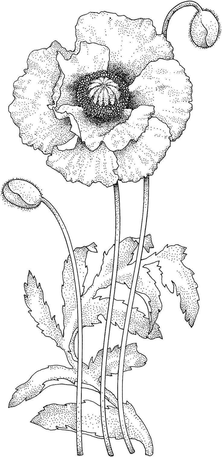 Pin By Irene Umbreit On Cvety Karandashom In 2020 Flower Drawing Poppies Coloring Pages