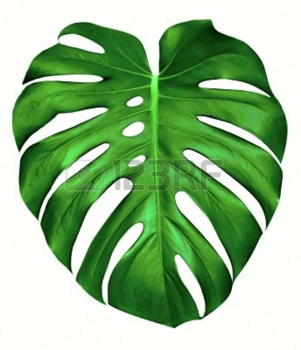 Big Green Leaf Of Monstera Plant Isolated On White Plant Drawing Leaf Art Painted Leaves