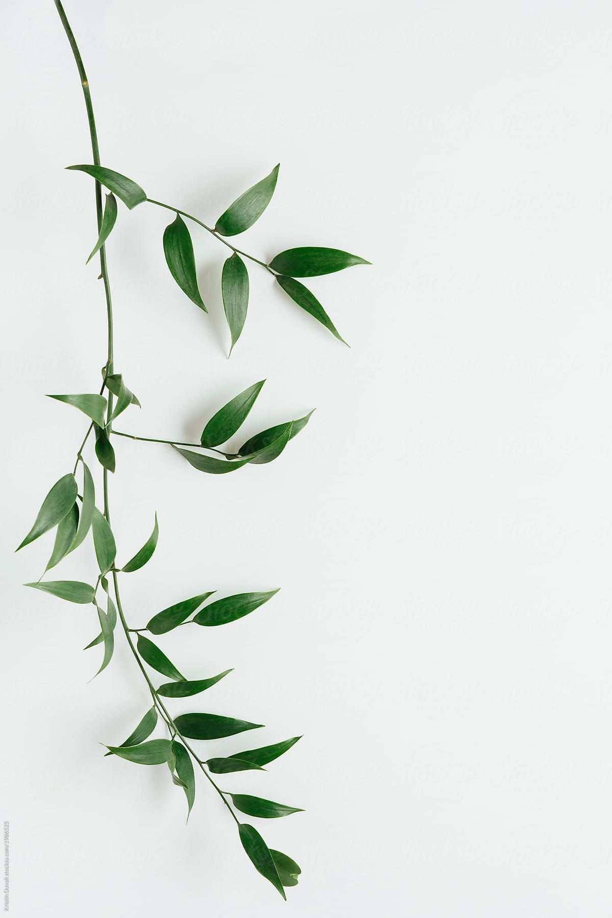 Italian Ruscus Leaves On White Leaf Photography Plant Wallpaper Flower Background Wallpaper