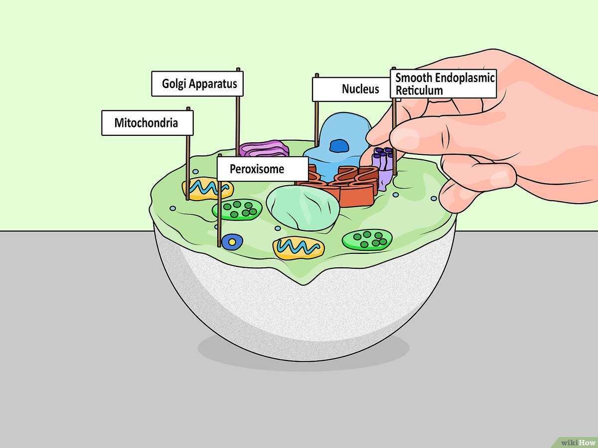 Ein Zellmodell Basteln Wikihow